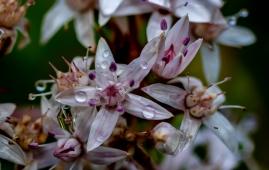 hillside-jade flowers