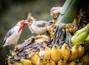 Banana Birds-6