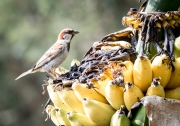 Banana Birds-7