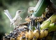 Banana Birds-9