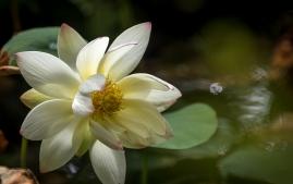 3rd lotus flower