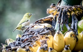 banana birds
