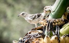 Banana Birds-8