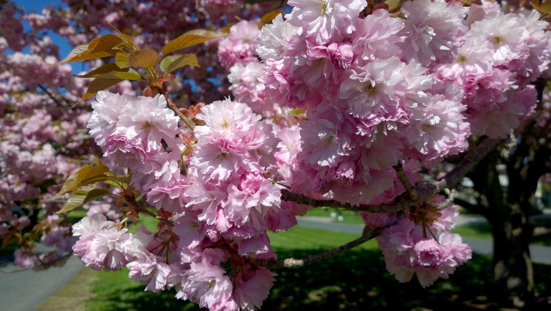cherry-blossoms.jpg