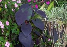 black-taro