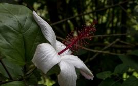 puu-mahoe-5