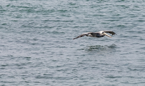 PELICANS-AT-ELEPHANT-SEAL-BEACH-5