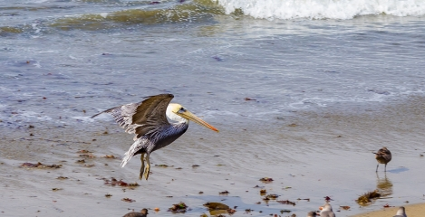 seal-n-pelicans