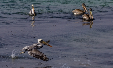 PELICANS-AT-ELEPHANT-SEAL-BEACH-8