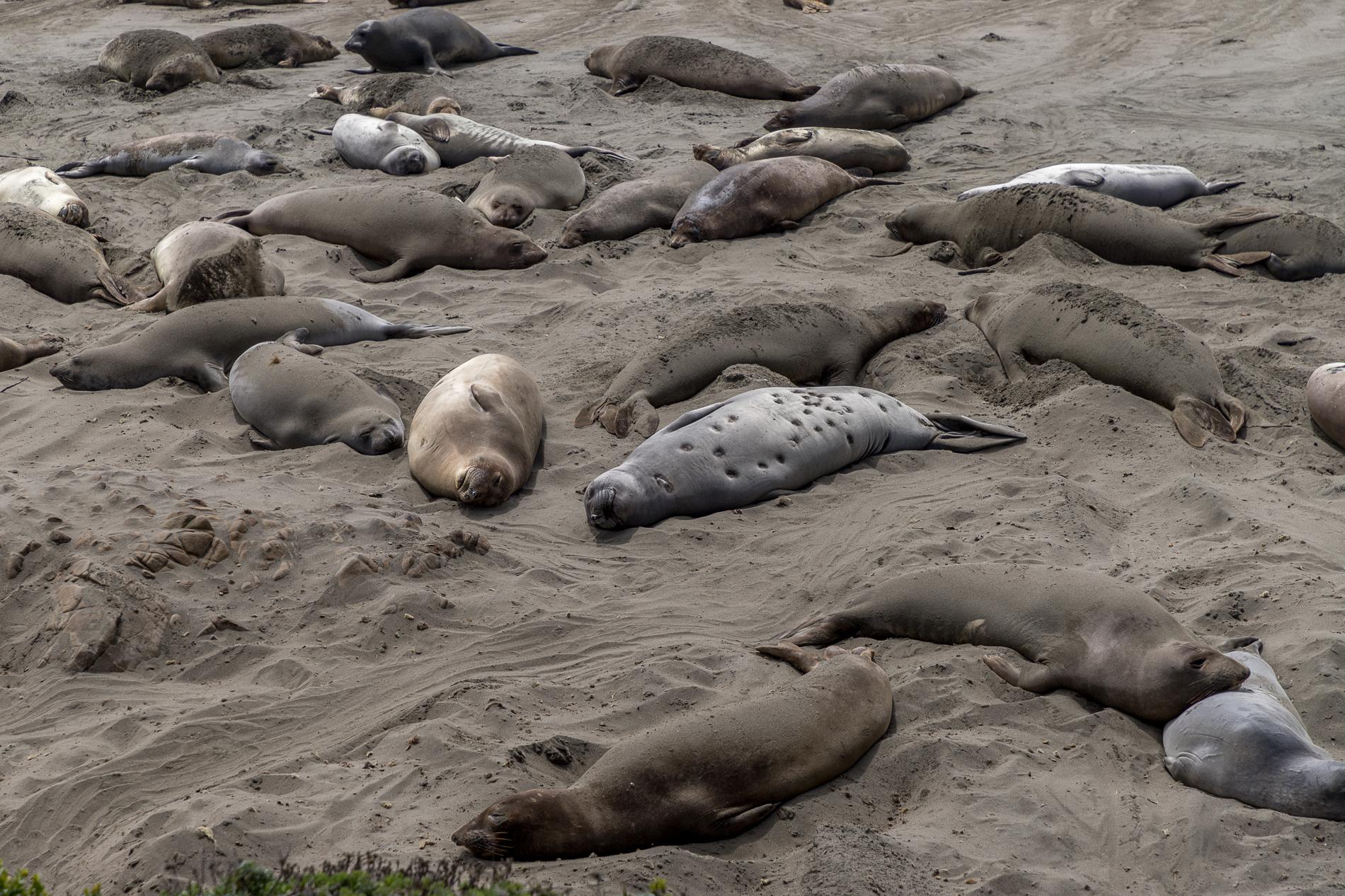 Elephant-seals-2