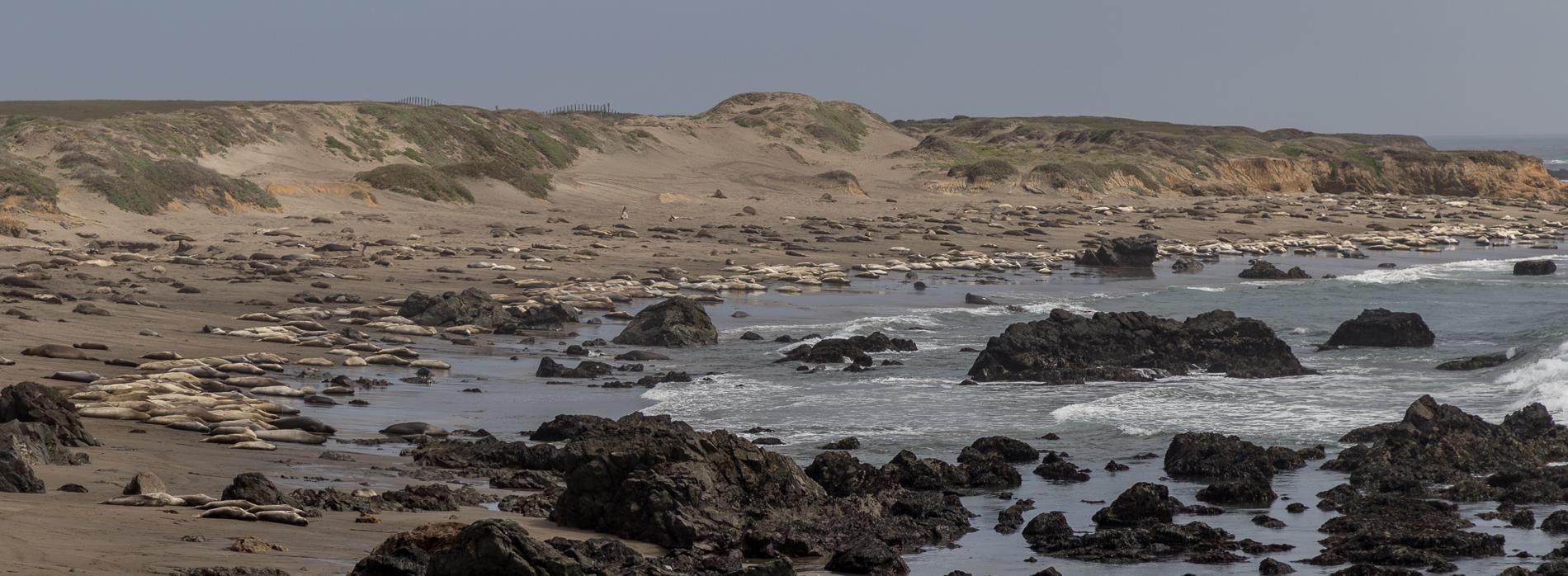 Elephant-seals-4