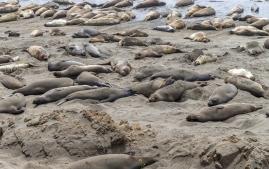 Elephant-seals-3